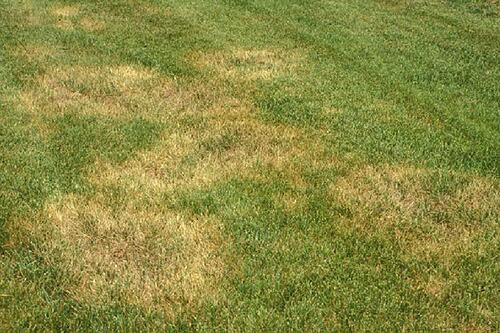 How to Get Rid of Brown Patch Fungus