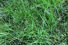 How To Identify Poa Annua Trivialis In The Lawn