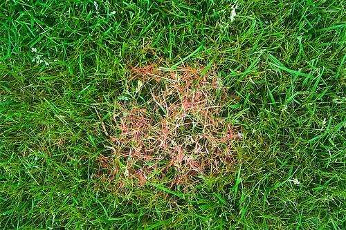 How to Control and Treat Red Thread Fungus