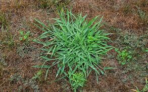 Why Treating Crabgrass Weeds Can Be Difficult