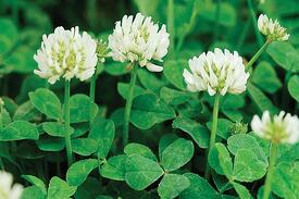 Clover Weed Prevention and How To Kill It