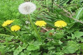 How To Rid Your Lawn From Dandelions
