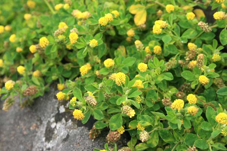 How To Get Rid of Large Hop Clover In Your Lawn