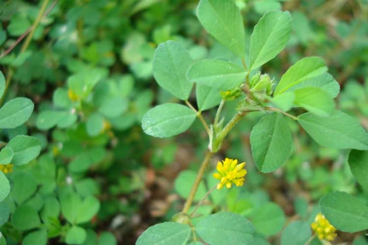 Why Is Small Hop Clover Hard To Get Rid of In My Lawn