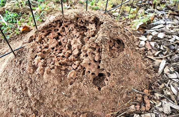 Fire Ant Colony