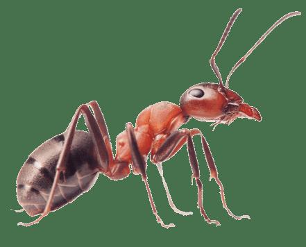 Fire Ant Image NO BK