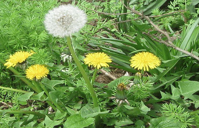 COMMON WEEDS