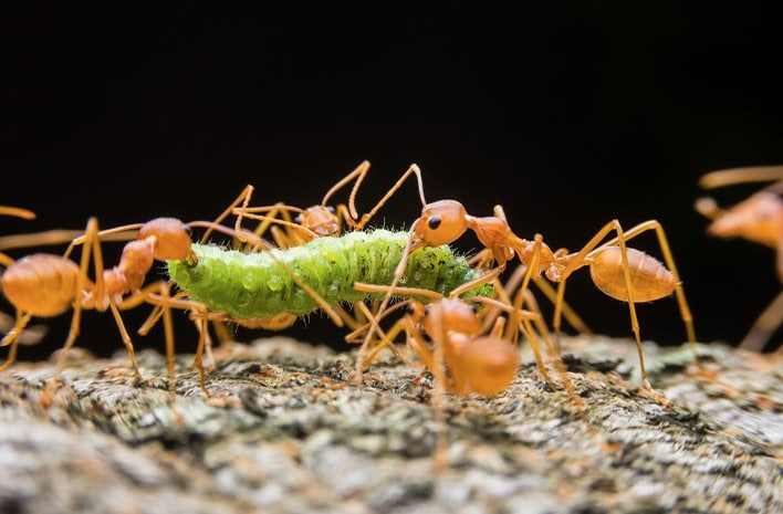 fire ants eating a bug