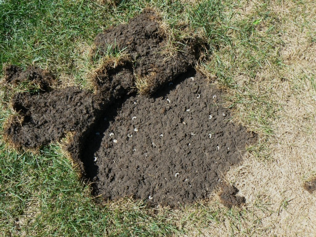 How To Know If Your Lawn Has Grubs?