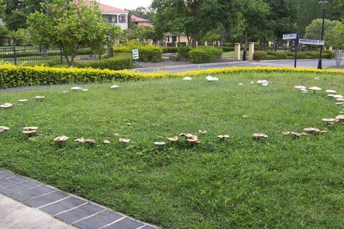 Fairy Ring Fungus